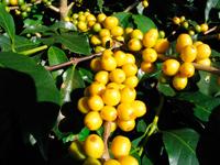 Кофе бурбон в зернах